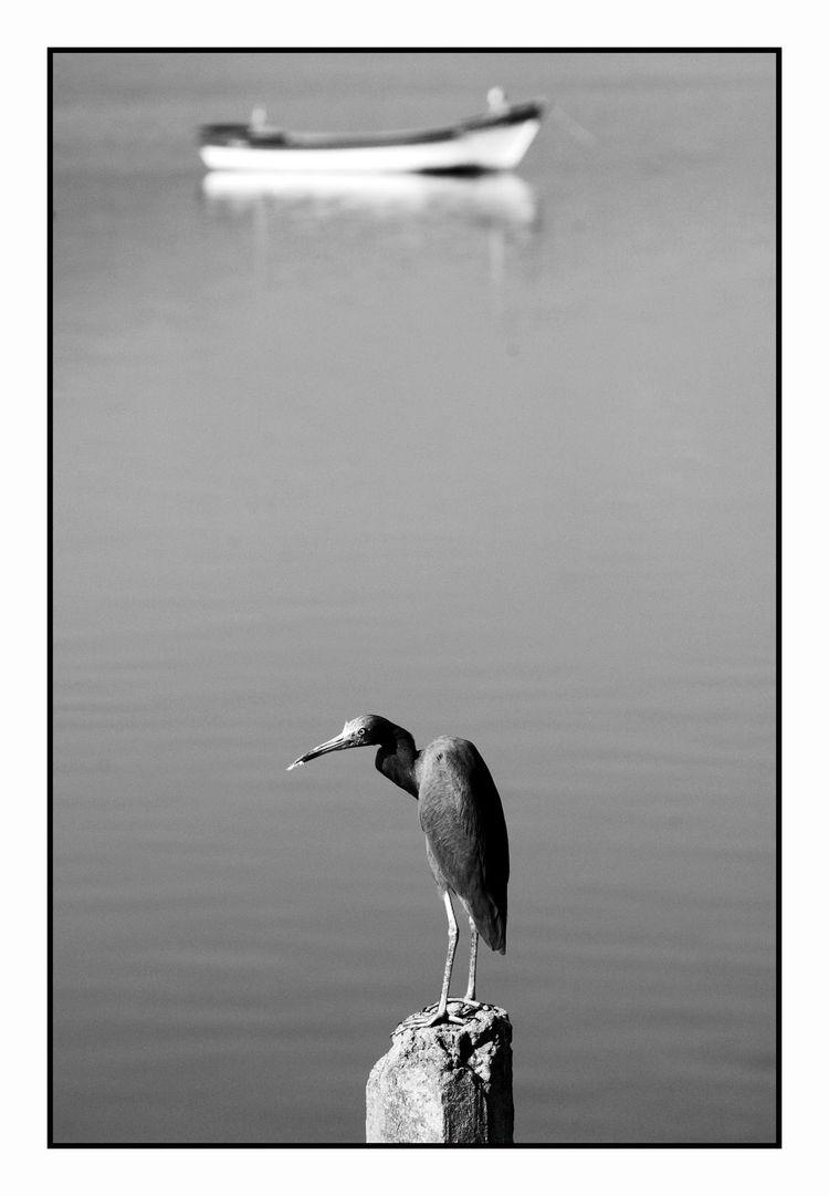 Egretta Caerulea garça - mangrove - jsuassuna | ello