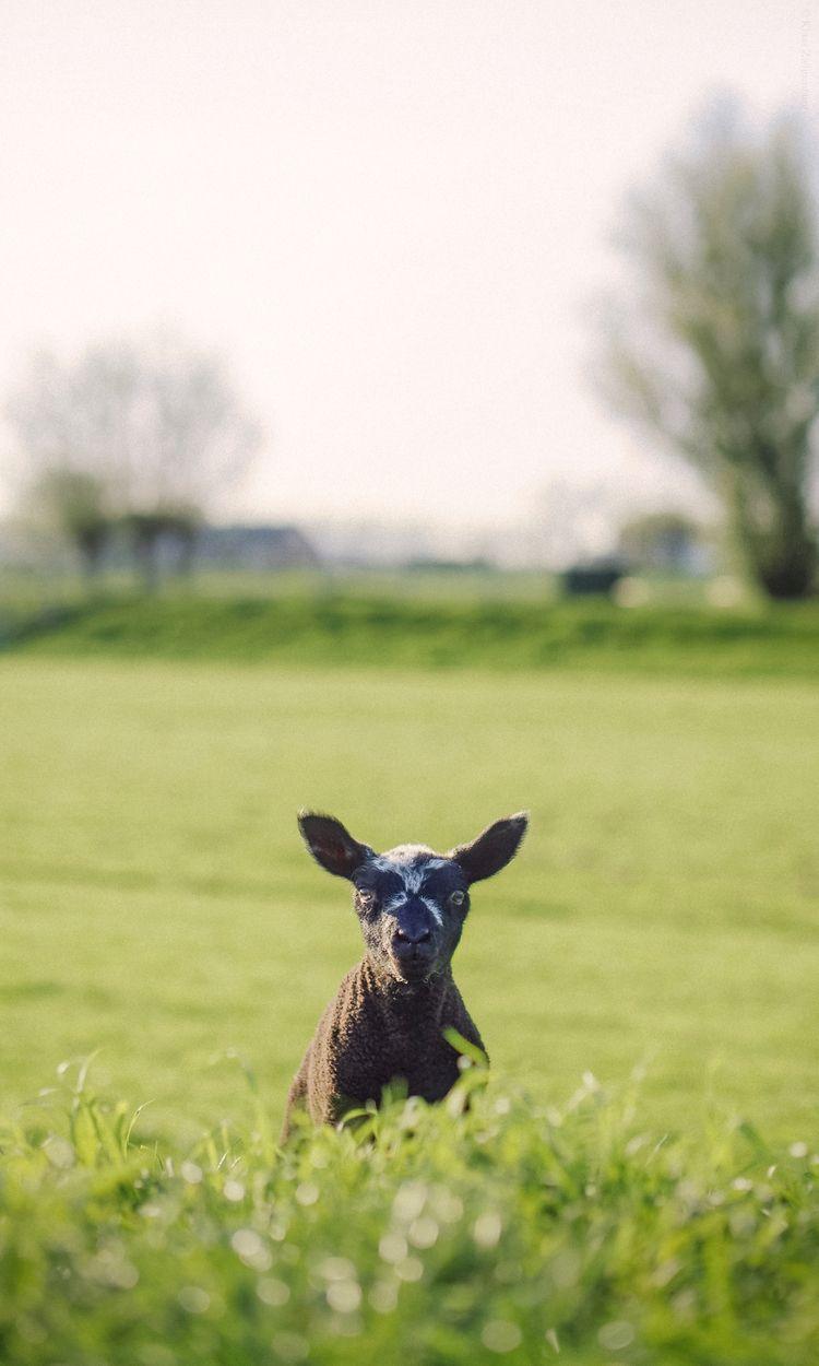 April - animals, color, sheep, lamb - klaasphoto | ello