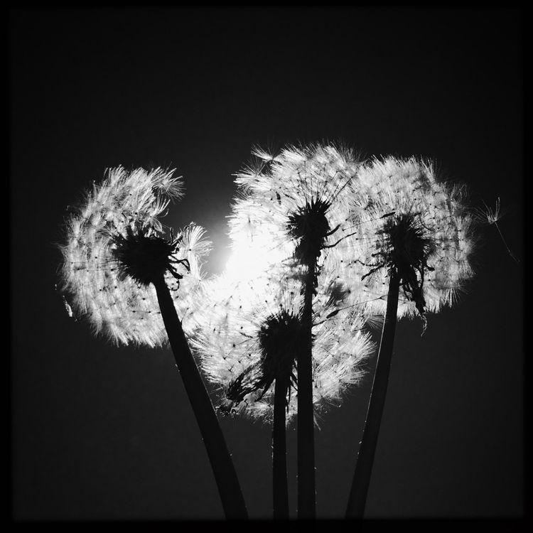 Sun eclipsed Dandelions - hipstamatic - enschedeaanzee | ello