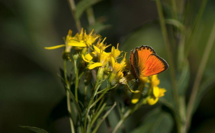 Sur fleur jaune, le thymelicus  - gclavet | ello