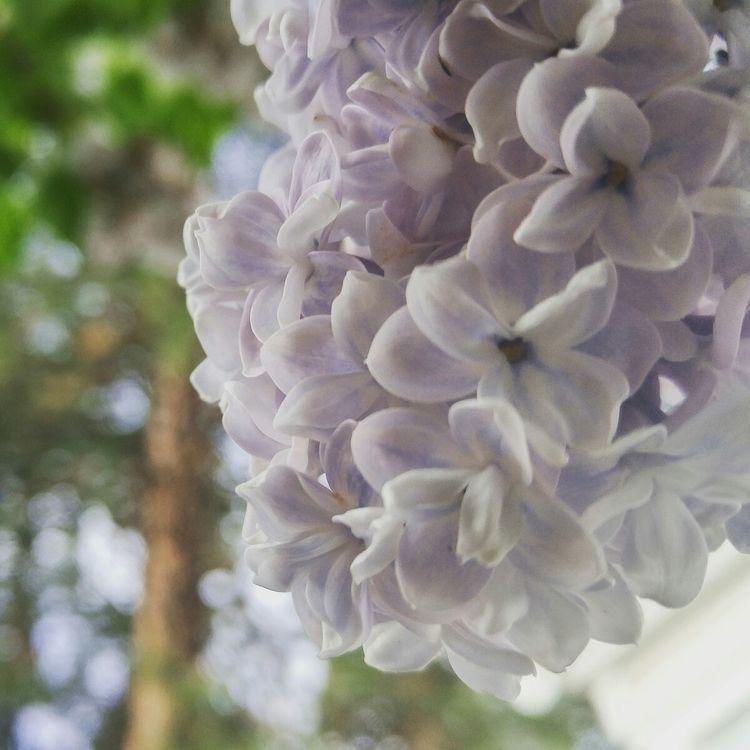 Spring Spokane, means lilacs - lilac - amyliabdla | ello