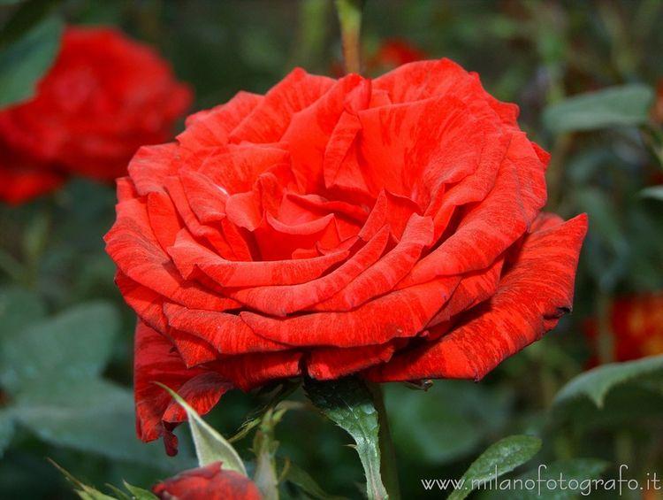 Milan (Italy): Red rose Orticol - milanofotografo   ello