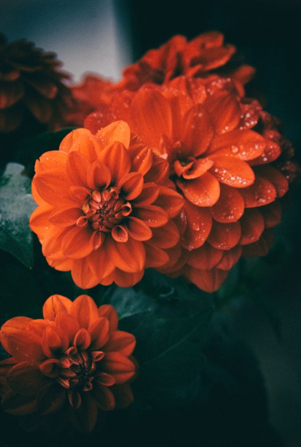 photography, dalhias, flowers - mphotography | ello
