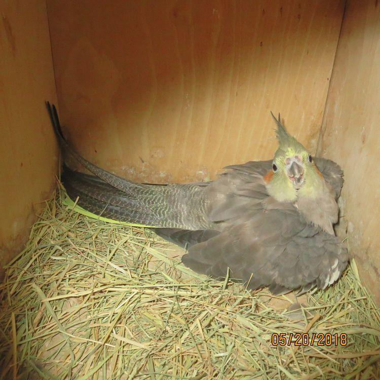 cockatiels breeding planning la - fellaguy2 | ello