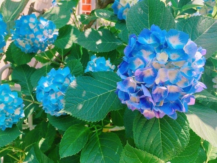 Blooming - flower, hydrangea - unimii | ello