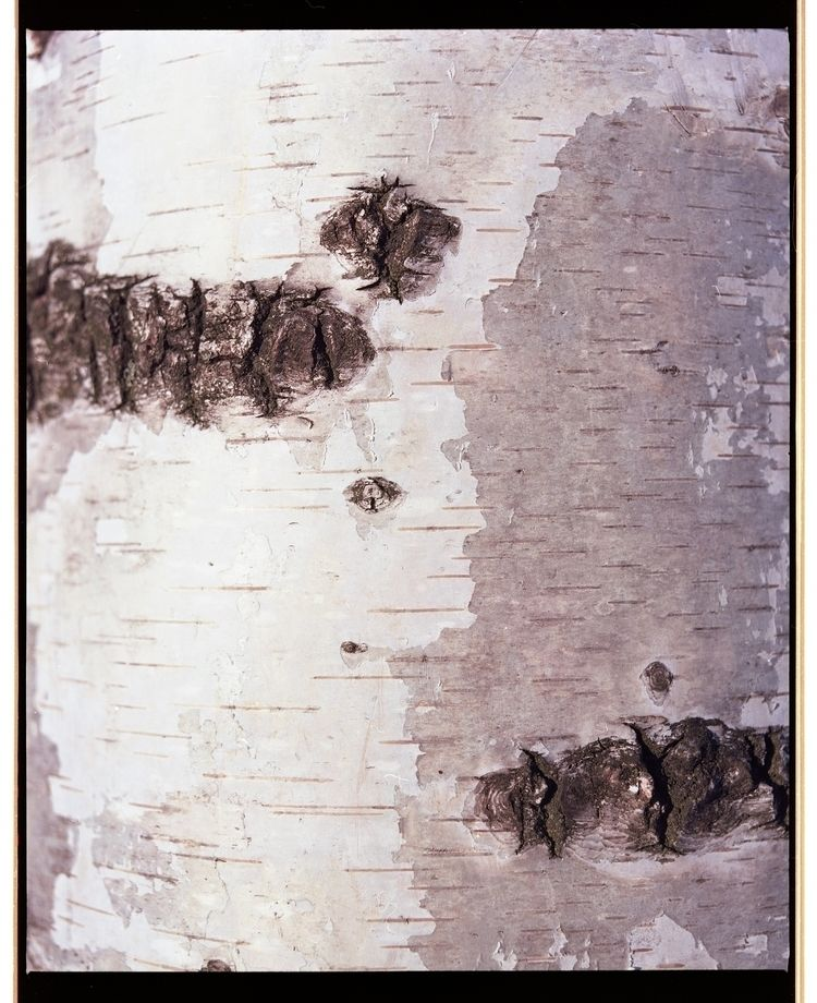 Birch. Mamiya RB67 Pro SD, 90mm - veetiphotos | ello