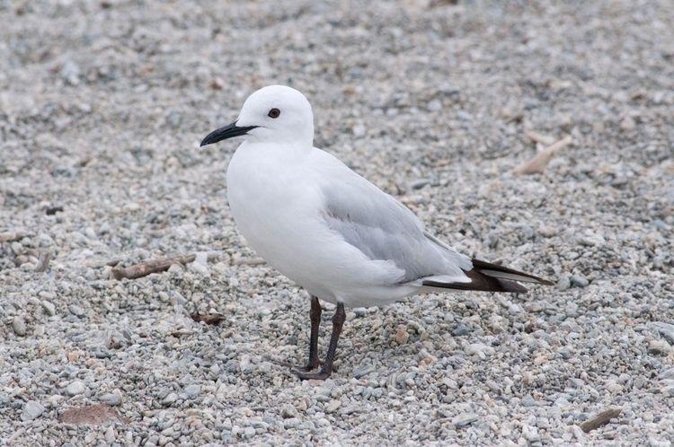 Black-billed Gull / Tarāpuka La - jt_wildlife | ello