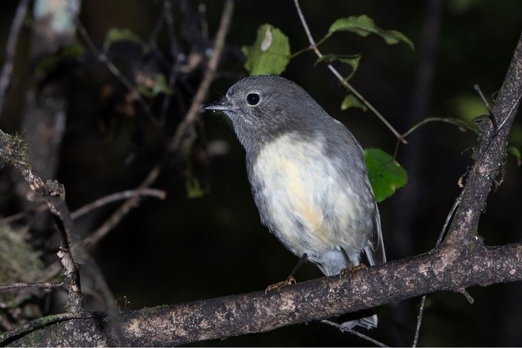 SI Robin / Toutouwai adult ♀ Pe - jt_wildlife | ello