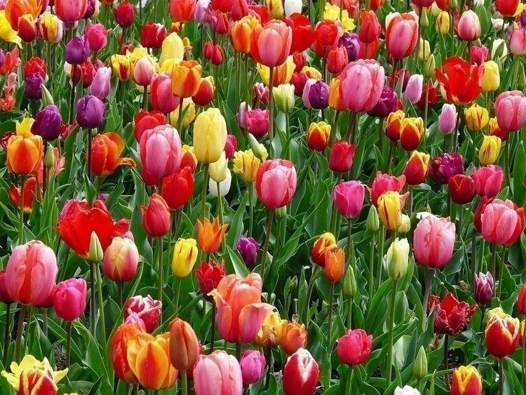 Tulips Online Delivery Philippi - lakisha | ello