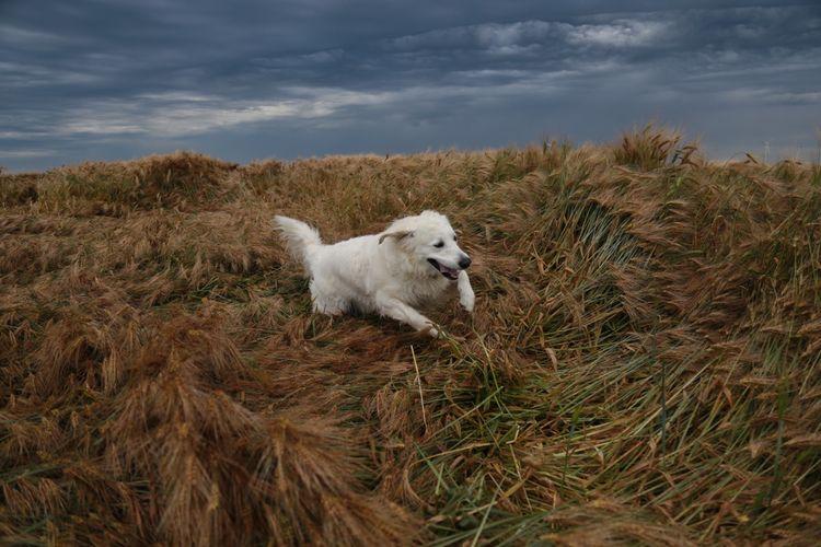 GoldenRetriever, Dog, Photography - lucilebe   ello