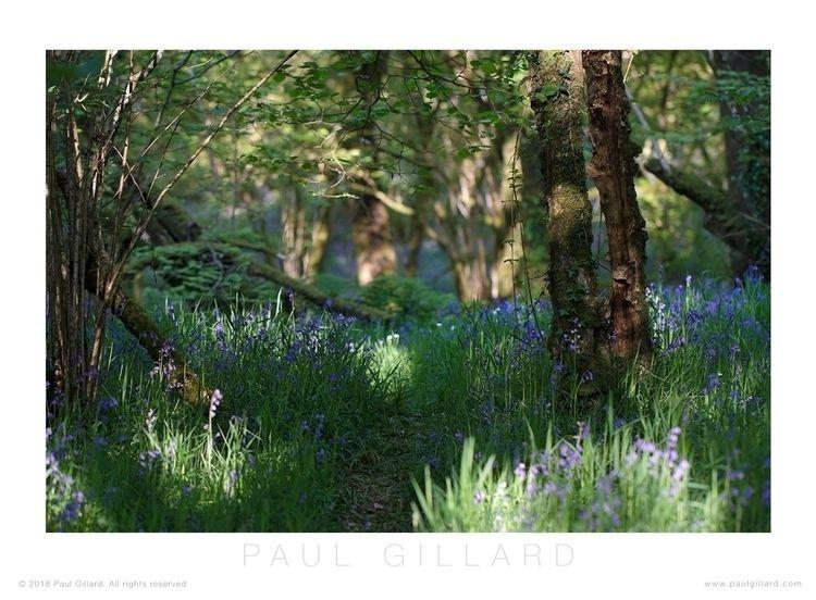 Title: 'Bluebell wood' Canon -  - paulgillard   ello