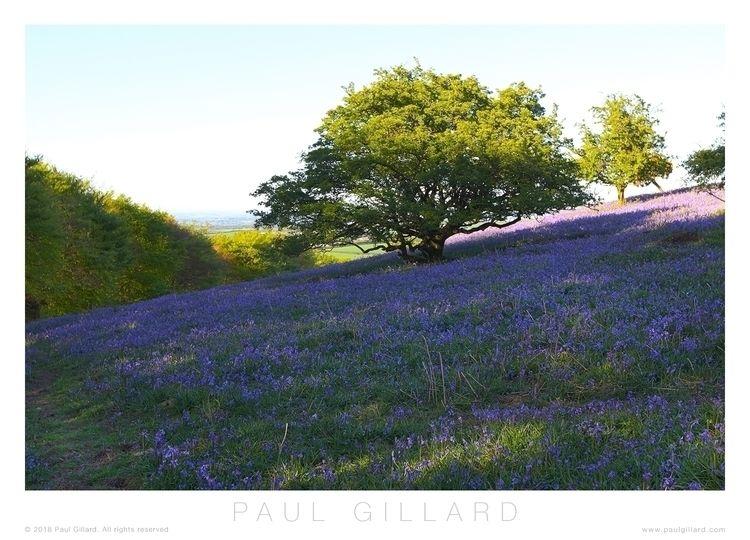 Title: 'Field bluebells' Canon  - paulgillard   ello
