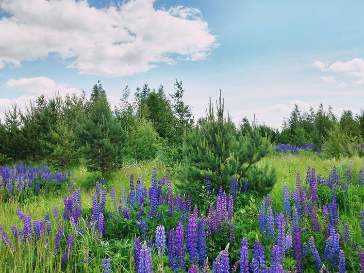 Wild lupins - andreigrigorev | ello