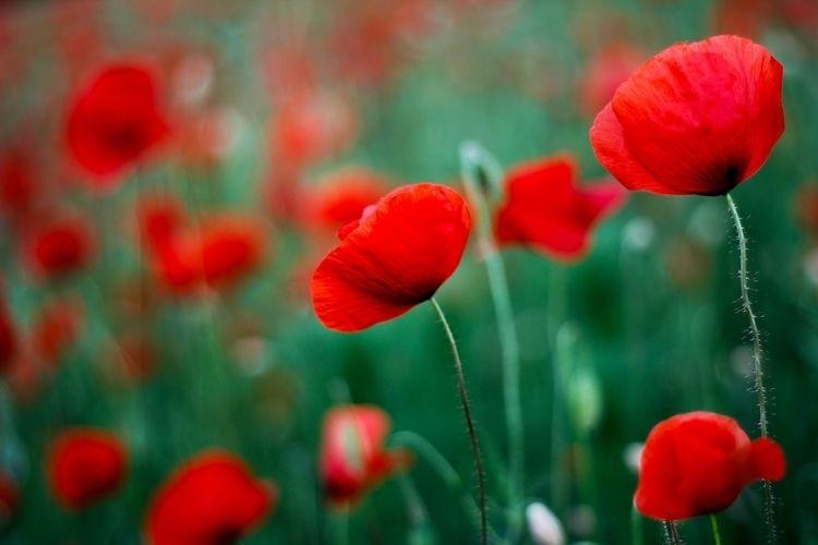 Lieblingsfarben, Poppies, redandgreen - alles_banane | ello