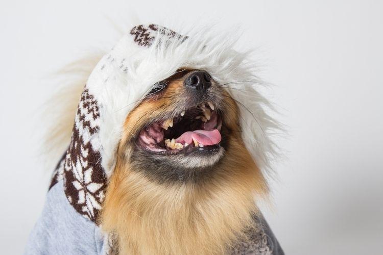 Pomeranian hideaway - pomeranian, - wuuff   ello