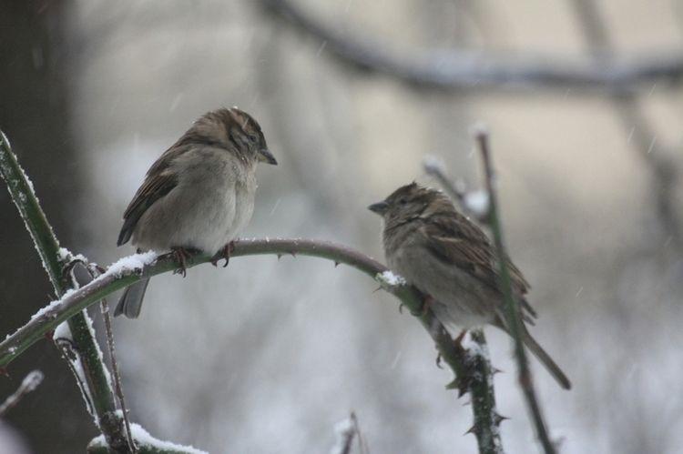 Sparrows - taiban   ello