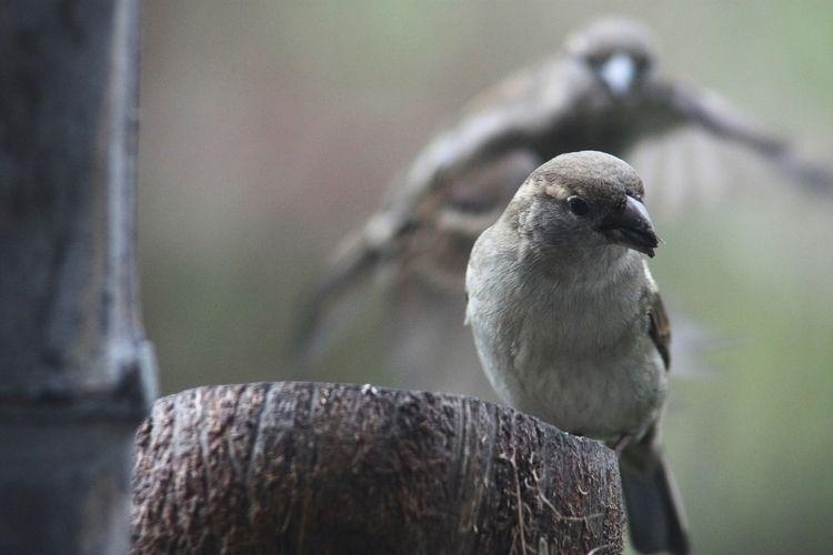 2 sparrows - taiban | ello