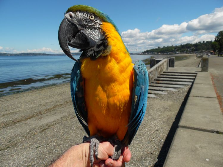 Blue Gold Macaw Aboo posing sea - michaelostrogorsky   ello