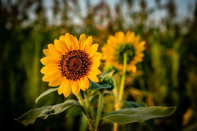 Greet Sun Sunflowers catch earl - mattgharvey | ello