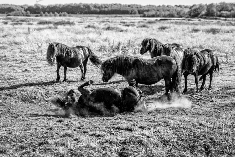 nauturephotography, horses, ponys - arnevanoosterom | ello
