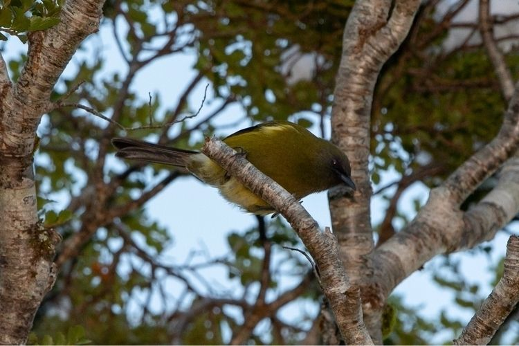 Bellbird/ Korimako ♂ Anthornis  - jt_wildlife | ello