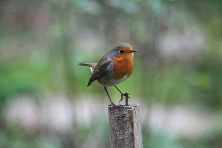 Robin - taiban | ello