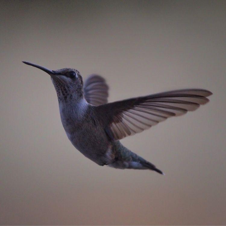 Hummers, Central Texas - hummingbirds - introleftedness | ello