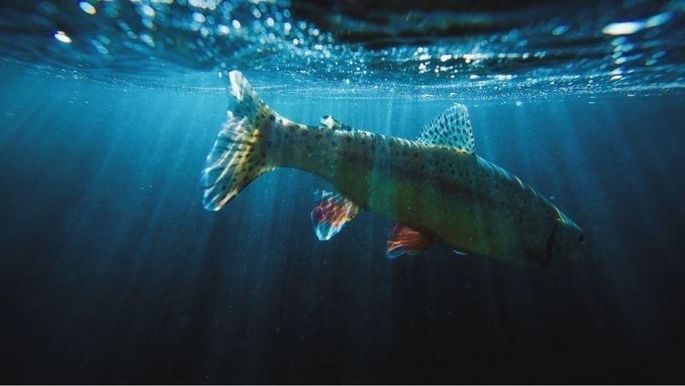 Wild rainbow trout - flyfishing - samdean | ello