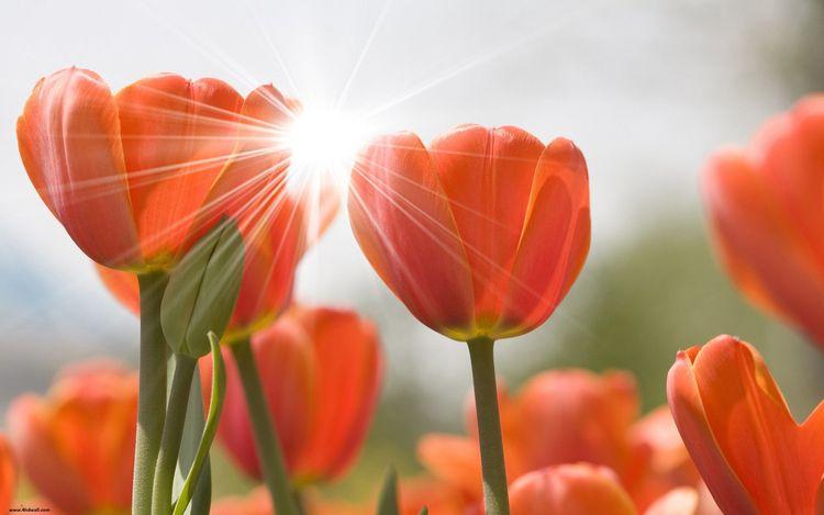 Daily Tulip – News World Wednes - robert-mcangus   ello