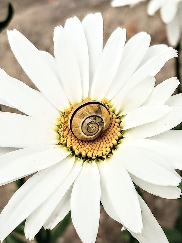Snail Daisy 1 - photography, photo - saysaphotography   ello