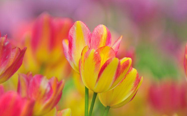 Daily Tulip – Saturday 14th Jul - robert-mcangus | ello