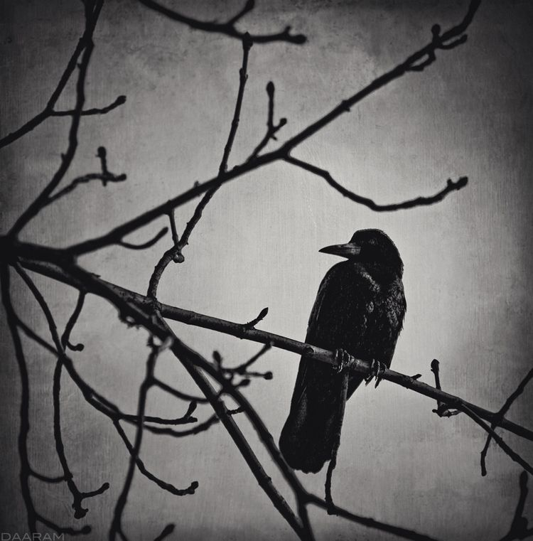 Raven: Raven branch Wawel Royal - daaram | ello
