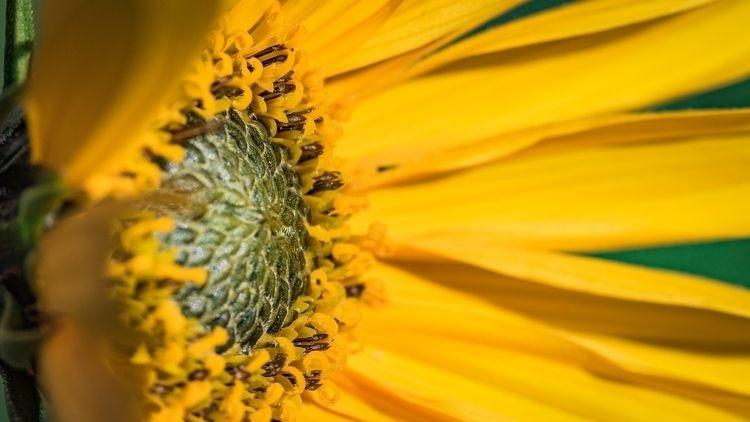 Sunflower - ellophotography, makro - gkowallek | ello
