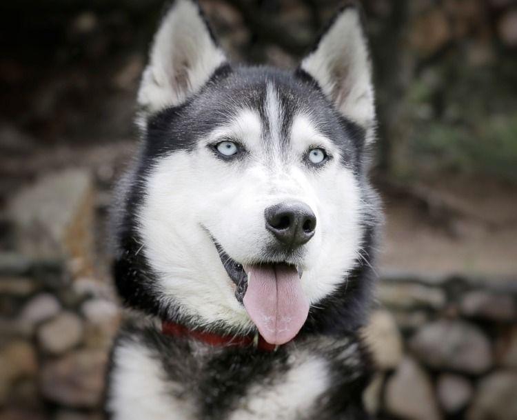 Adopt Zuko - male siberian husk - red_wolf | ello