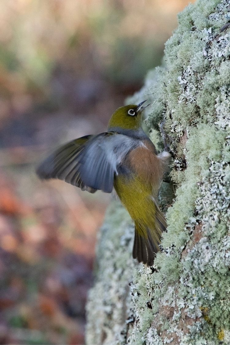Waxeye / Tauhou Zosterops later - jt_wildlife | ello