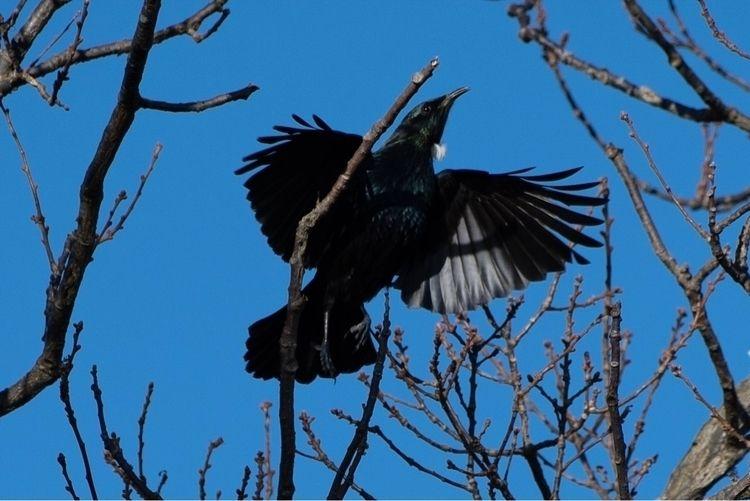 Tūī Prosthemadera novaeseelandi - jt_wildlife | ello