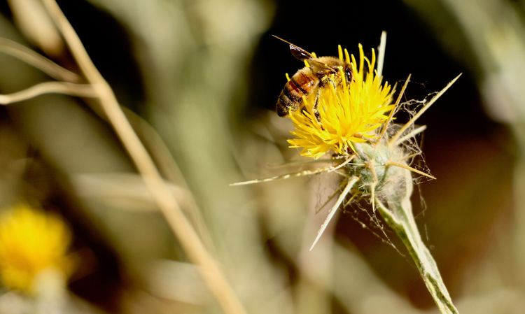 HoneyBee, NoBeesNoFood, Photography - scribblings | ello