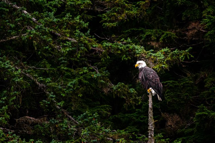Eagle Forest bald eagle perches - mattgharvey | ello