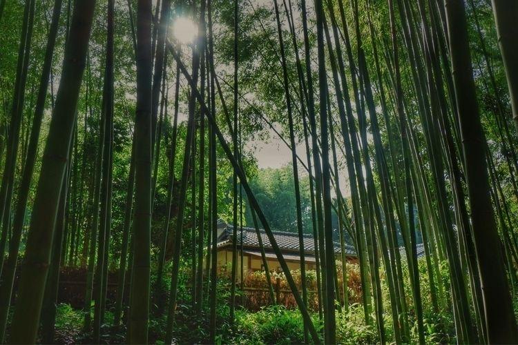 fujifilmxa3, japan, kyoto, bamboo - amemarie | ello