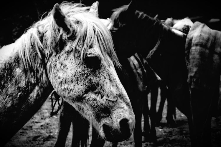 Herd - blackandwhite,, horses,, film, - sat1974 | ello