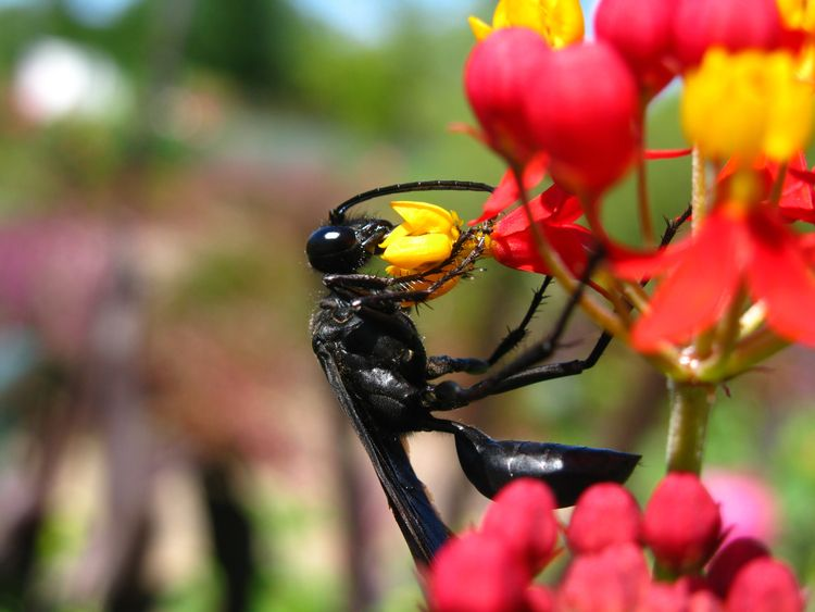 Great Black Wasp Working - insect - leif_kurth | ello