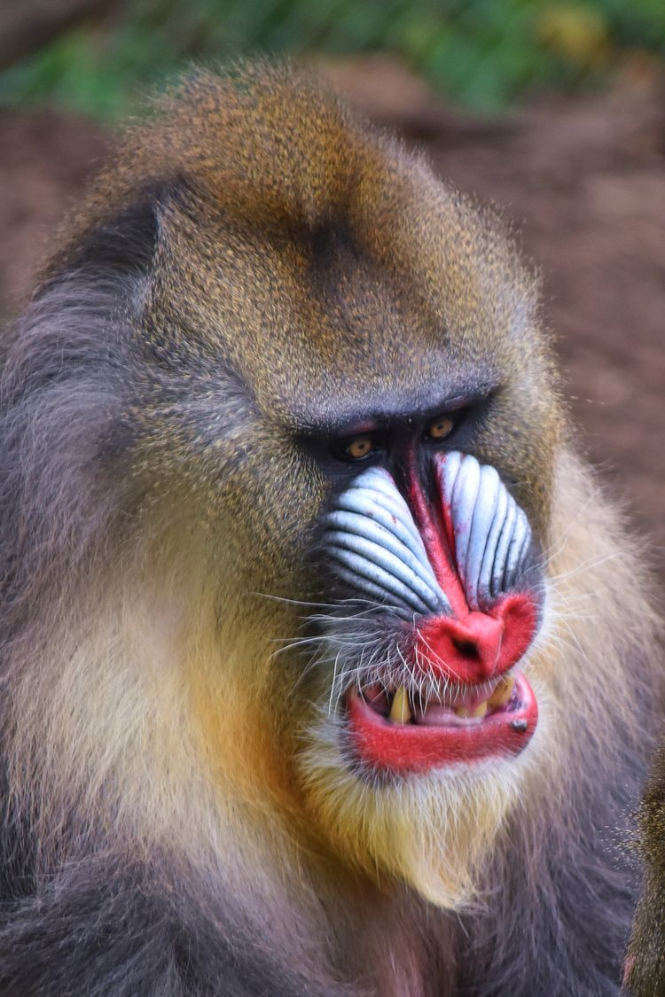 Fierce mandrill monkey - animal - chetkresiak | ello