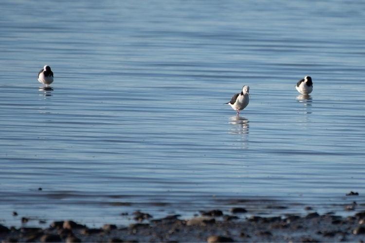 Pied Stilt / Poaka Himantopus h - jt_wildlife | ello