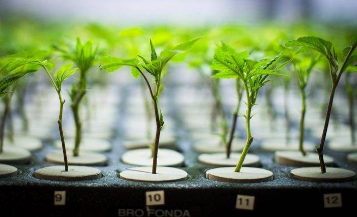 modifying weed industry summer - marijuanafloor | ello