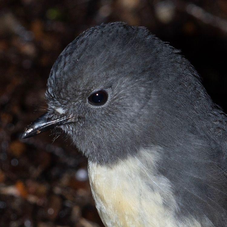 SI Robin / Toutouwai ♂ Petroica - jt_wildlife | ello
