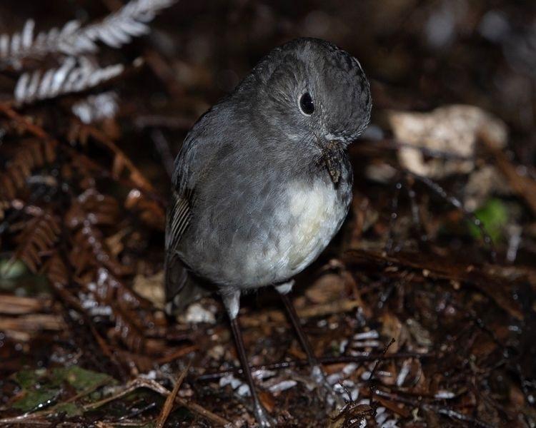 SI Robin / Toutouwai ♀ Petroica - jt_wildlife | ello