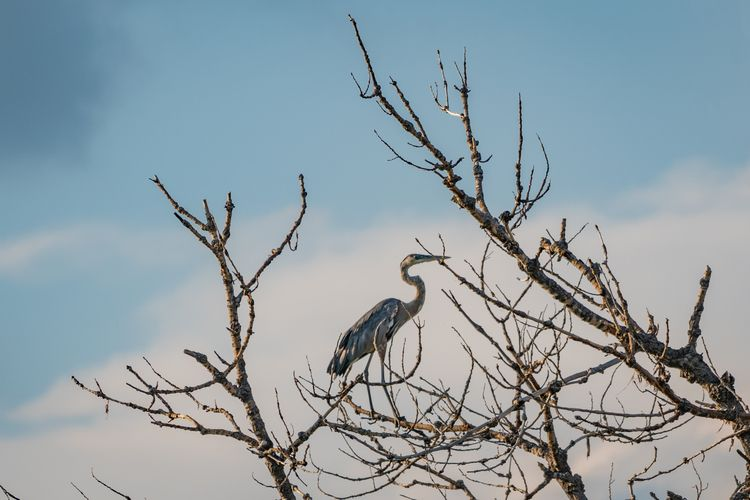 Twigs Legs Great Blue Herons fa - jeffmoreau | ello