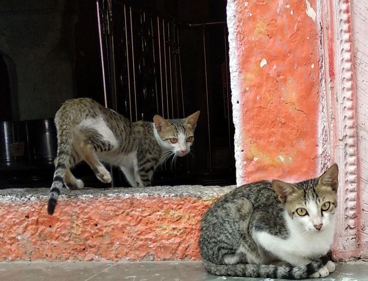 India, cat, atulbw - atulbw | ello