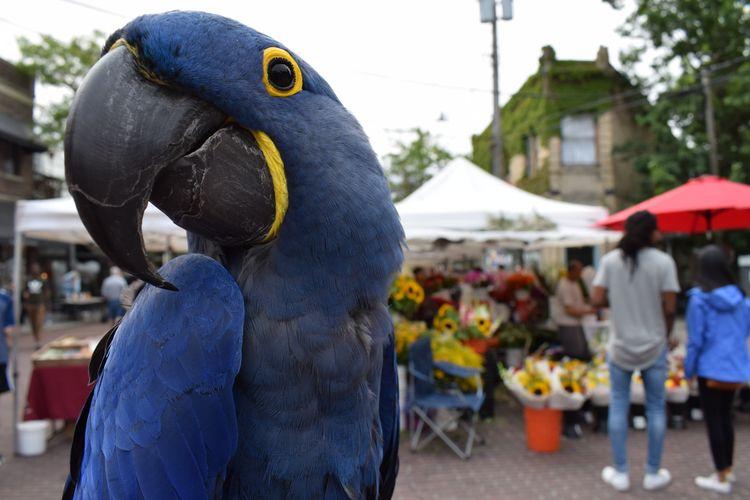 Hyacinth Macaw Princess Tara fa - michaelostrogorsky | ello