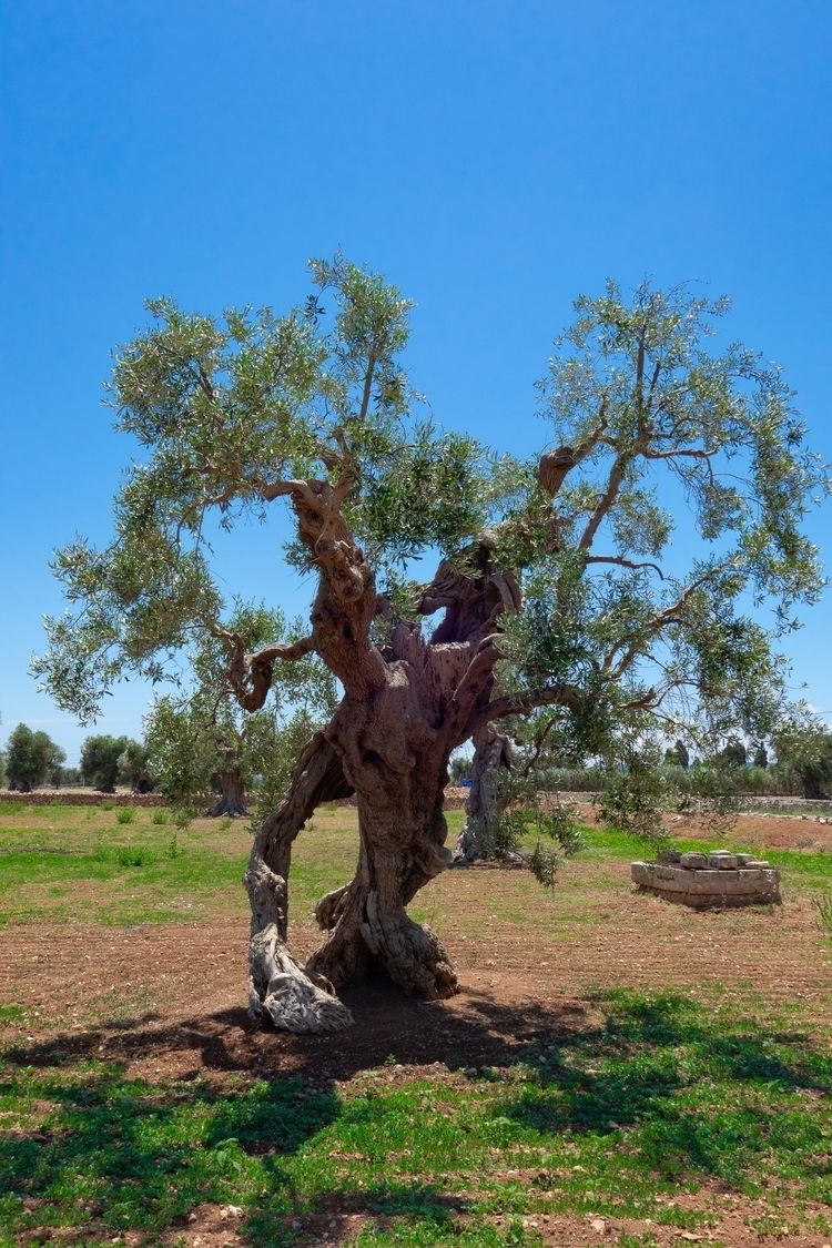 secular olive tree coming Lord  - crazylensphoto | ello